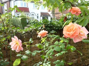Sheila's roses
